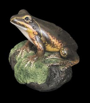 Northern Banjo Frog