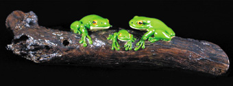 Three Frogs on a Log
